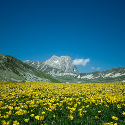 Yellow_flowers_at_Campo_Imperatore-1